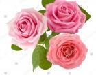 photo-rose-284542157